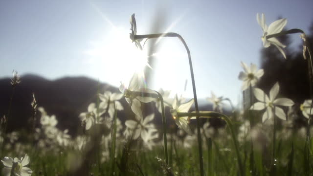 Daffodil flowers in morning sun video