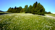 AERIAL: Daffodil flowers video