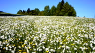 AERIAL: Daffodil Meadow video