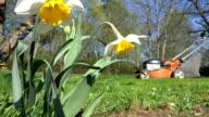 Daffodil narcissus flower and blur gardener man cutting lawn video