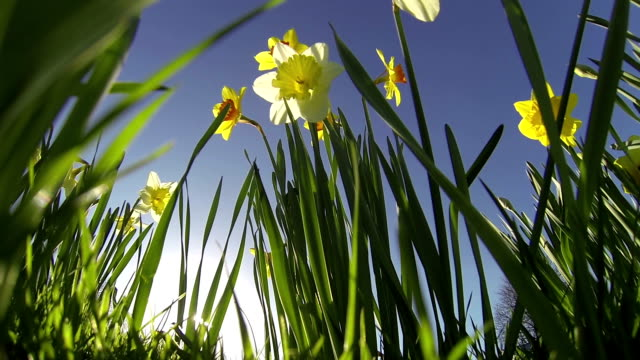 Daffodil summer time video