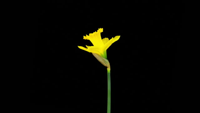 Daffodil; TIME LAPSE video