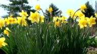 Daffodil video