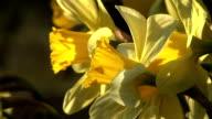 HD: Daffodil video
