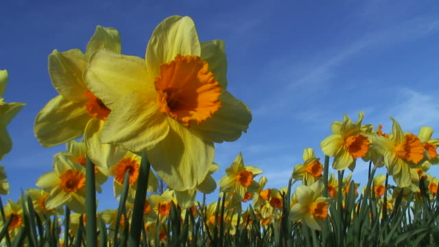 Daffodils and blue sky video