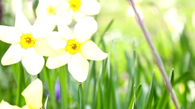Daffodils in garden video
