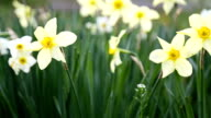 Daffodils in garden video