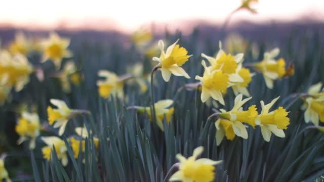 Daffodils Sunrise video