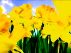 Daffodils video
