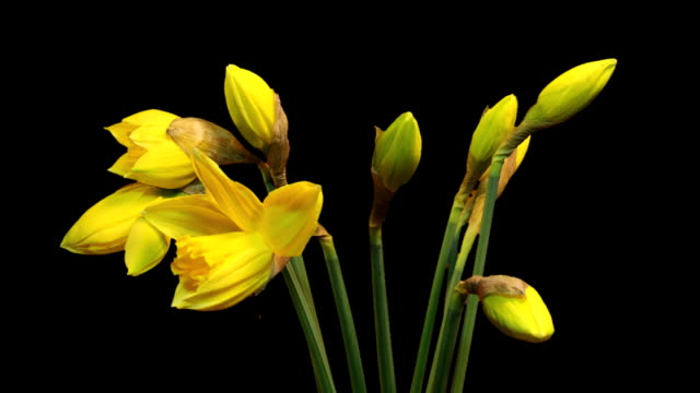 Daffodils (time-lapse) video