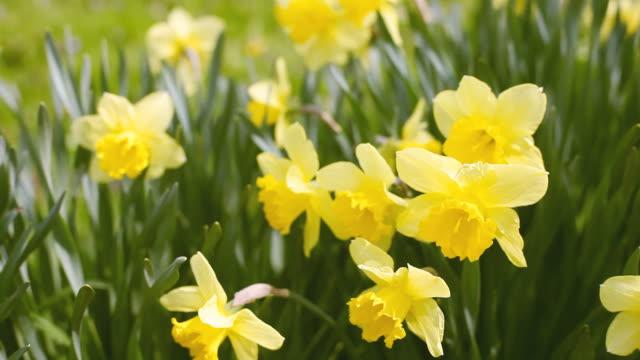 Daffodils video