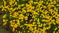 Dahlberg Daisy Flowers in the Garden video