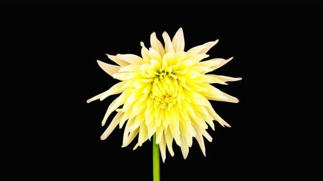 Dahlia Blooming Time Lapse video