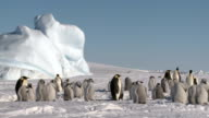 daily life in a penguin colony video