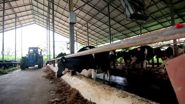 Dairy Cattle Eating video