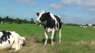 Dairy cattle video