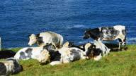 Dairy Cattles Grazing On Headland video