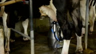 Dairy cow and mechanized milking equipment video