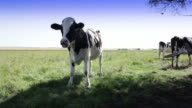 Dairy cow video