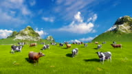 Dairy cows graze on alpine pasture video
