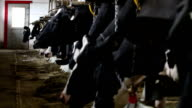 Dairy Cows in a Cowshed video