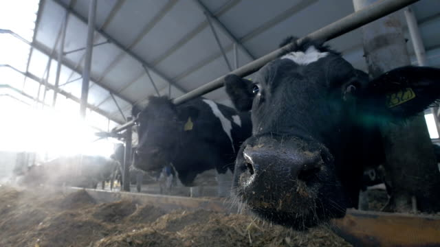 Dairy cows in cowshed sniffing camera. Extreme closeup ants eye view video