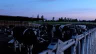 Dairy Cows on Farm 2 video