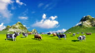 Dairy cows on green alpine pasture video