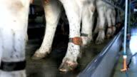 dairy farm cow pedometer.mov video