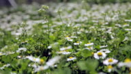 Daises in meadow video