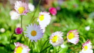 Daisies blooming in a summer field video
