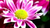 Daisies blooming video