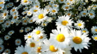 Daisies in a field video