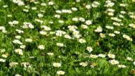 Daisies in the grass. Flowers in the summer. video