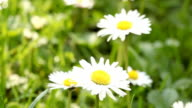 daisies macro video