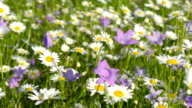 Daisy and bellflowers video