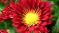 Daisy blooming - American Chrysanthemum video