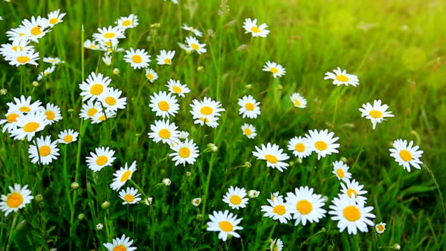 Daisy field in the sunny summer day video