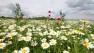 Daisy field in the wind video