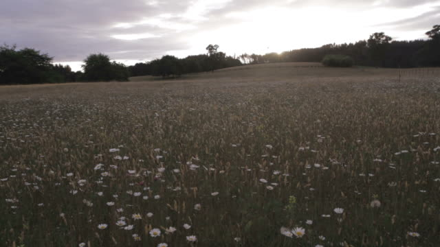 Daisy Field video