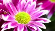Daisy flower blooming 4K video