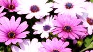 Daisy Flower in spring video