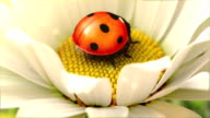 Daisy flower with a ladybird video