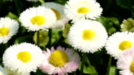 Daisy Flowers in spring video