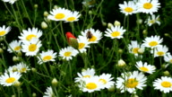 Daisy flowers with poppy in spring video