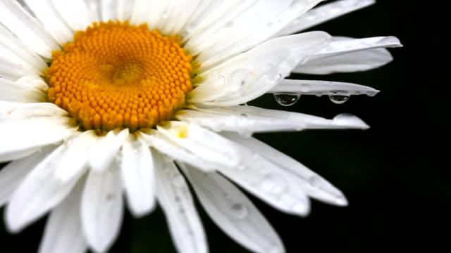 Daisy petals with raindrops. video