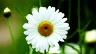 Daisy video