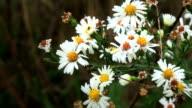 Daisy White Wildflowers video