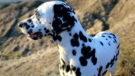 Dalmation looking longingly video