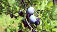 damaged plum video